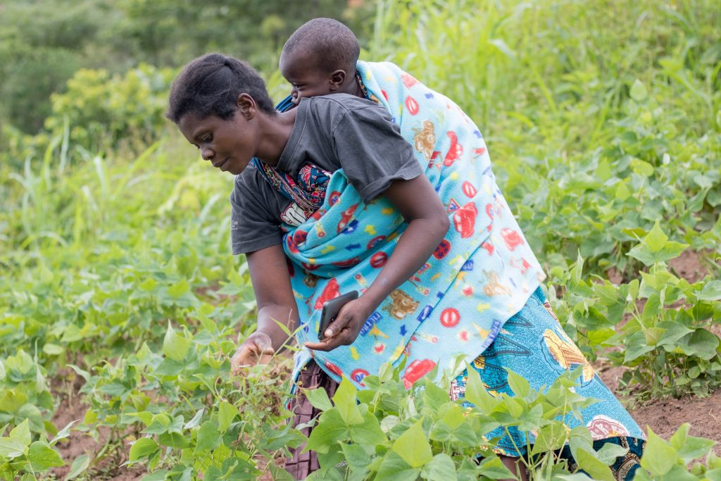 Malawi: Chingondo irrigation scheme back to life after more than a year